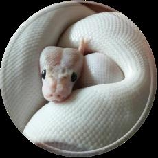 Pet Python Wallpaper Hd Amazing Wallpapers Themes